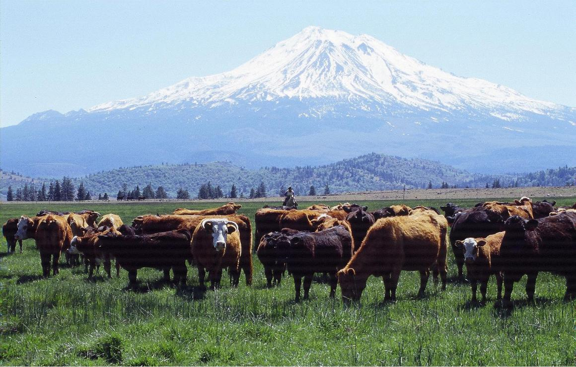 Cattle in view of Mt Shasta
