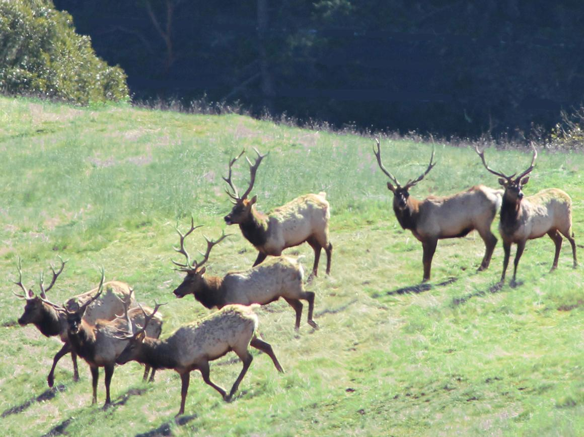 Tule Elk on the ranch