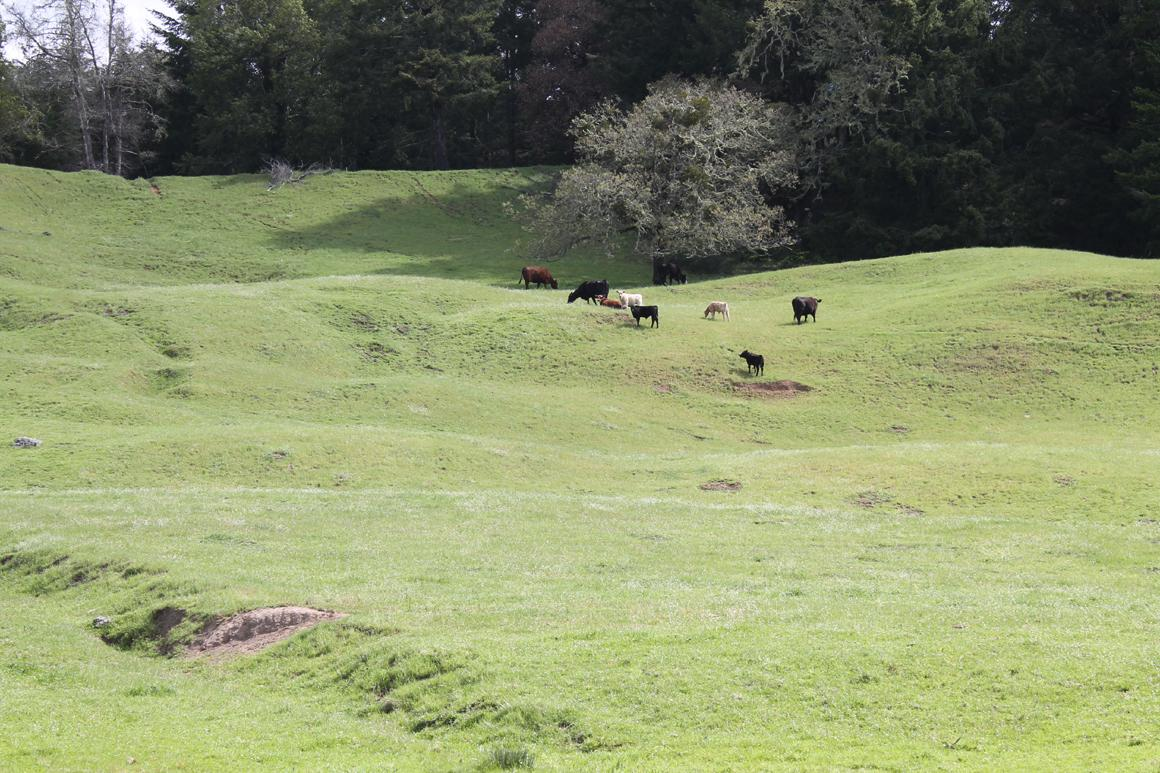 Cows on hill