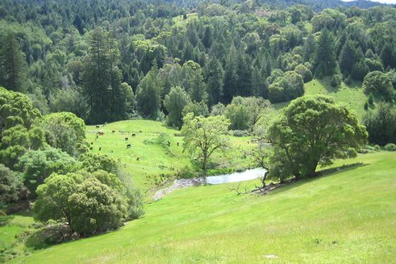 cows near one of the ponds